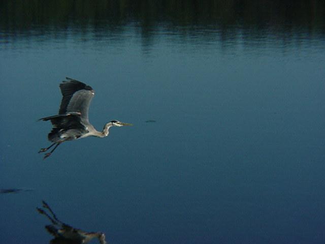 Heron Flying.JPG