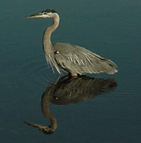 Heron Reflection.jpg