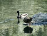 0P5110712_Ducks_Crpd.jpg