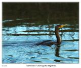 Cormorant at the Sunnyvale Baylands