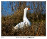Snow Goose at the Sunnyvale Baylands