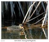 Cute Coot Chick at the Sunnyvale Baylands