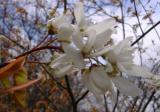 Amelanchier laevis (Serviceberry)