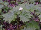 Diphylleia cymosa (Umbrella Leaf)