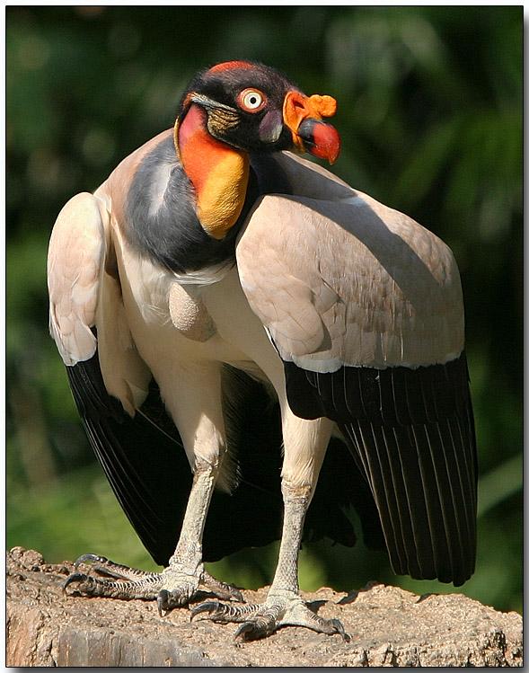 Image result for king vulture