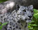 snow_leopards__tigers