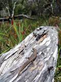 Lizard on log