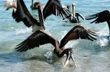 Pelecanus occidentalis californicus Brown pelican Bruine pelikaan