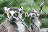 Lemur katta Ring Tailed LemurRingstaart Maki