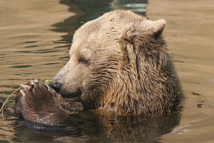 Ursus Arctos<br>Grizzly/Brown Bear<br>Bruine Beer