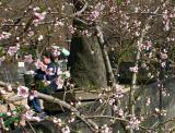 Plum Tree Blossoms WSP