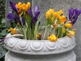 Crocuses Grace Church