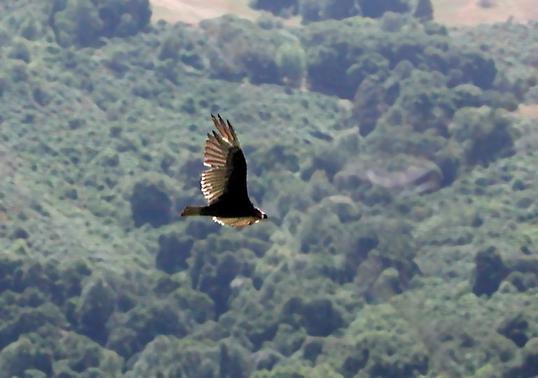 Vulture patrolling the canyon