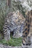 Tribute to Amirah (Amur Leopard cub)
