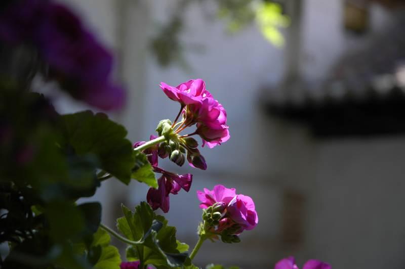 Mauve geranium