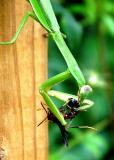 Praying Mantis1.jpg