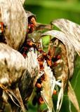 Bugs on Milkweed.JPG