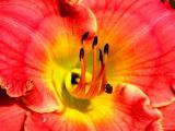 Bee in daylily.JPG