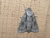 Lobelia Dagger Moth (Acronicta lobeliae)