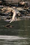 Whiskered Tern   Scientific name: Chlidonias hybridus   Habitat: Bays, tidal flats to ricefields.