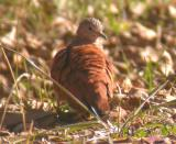 Ruddy Ground-Dove & etc.