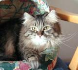 Premior  Fantasia Ionessi - Siberian Cat