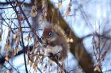 Minolta AF Reflex RedSquirrel1506.jpg