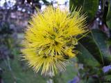Yellow Ohia Lehua (Metrosideros polymorpha)