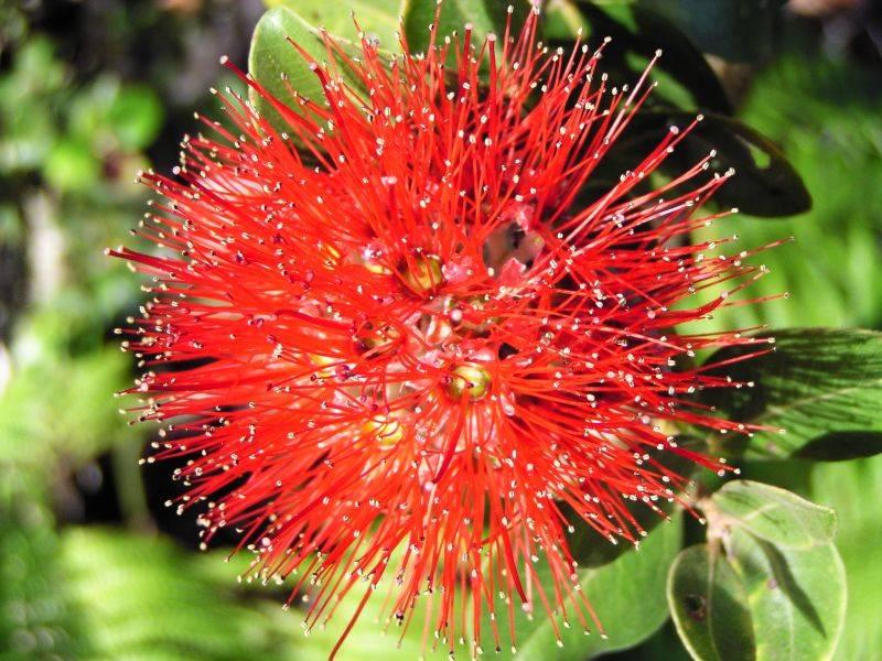 Red Ohia Lehua (Metrosideros polymorpha)