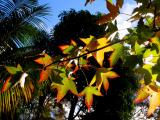 Autumn - liquidambar tree