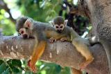 Squirrel Monkeys