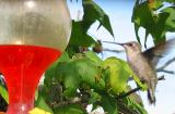 Humming bird by the feeder
