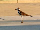 Killdeer (10x digital zoom)