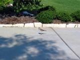 Killdeer and nest in flower bed next to driveway