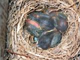 Newborn Eastern Bluebirds