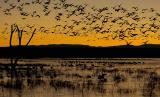 285 Snow Goose Fly Out 12-19.jpg