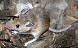 Deer Mouse - Peromyscus maniculatus