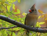 Female American Cardinal