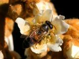 Bee on a Loquate tree
