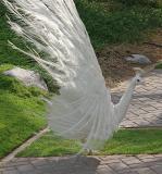 white peacock2