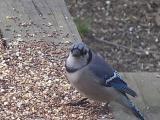 watchful bluejay