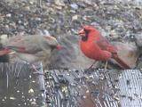 cardinal feeding his mate