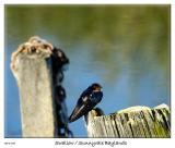 Swallow taking a break