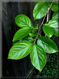 New, shiny Persimmon Leaves