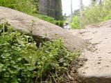 Houstonia serpyllifolia (Bluets) underfoot