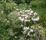 R. arborescens MP 409.8 N