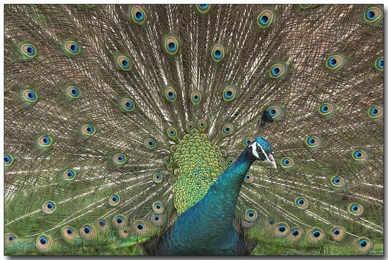 Indian Peafowl - male Peacock