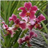 Orchids of Singapore