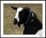 ds20041226_0272awF Goat 3.jpg