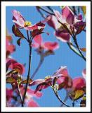 ds20050501_0027a4wF Blossoms.jpg